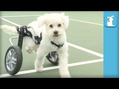 Handicapped Triplet Puppies Make One Of The Most Incredible Transformations We Have Ever Seen | Such a heartwarming video. These babies had such a rough start; you'd never know they were the same dogs. Please watch and share. Link to article and video: http://iheartdogs.com/handicaped-triplet-puppies-make-one-of-the-most-incredible-transformations-we-have-ever-seen/