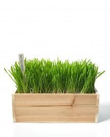 Grow Wheatgrass For Your Cat