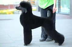 This it pretty close to how I would groom my standard poodle. Dog Grooming Salons, Poodle Grooming, Dog Grooming Business, Pet Grooming, Black Lab Puppies, Corgi Puppies, Poodle Hair, Poodle Cuts, Animaux