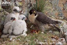 Looking for Peregrine falcon photos? View all of Arkive's Peregrine falcon photos - Falco peregrinus The Proud Family, I Like Birds, Bird Drawings, Drawing Birds, Peregrine Falcon, Kestrel, Vulture, Birds Of Prey, Falcons