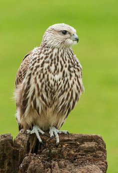 The Saker Falcon (Falco cherrug) is a very large falcon. This species breeds from eastern Europe eastwards across Asia to Manchuria. It is mainly migratory except in the southernmost parts of its range, wintering in Ethiopia, the Arabian peninsula, northern Pakistan and western China.