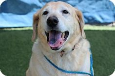 San Luis Obispo, CA - Labrador Retriever. Meet HUXLEY, a dog for adoption. http://www.adoptapet.com/pet/13423119-san-luis-obispo-california-labrador-retriever