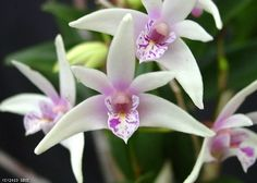 Dendrobium Hamana Smile 'Early Bird'