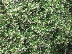 best evergreen climbing vines | Confederate jasmine is an evergreen vine for Zones 7–10 that ... Evergreen Climbing Plants, Evergreen Vines, Sun Plants, Garden Plants, Climing Plants, Osmanthus Fragrans, Winter Plants, Climbing Vines, Moon Garden