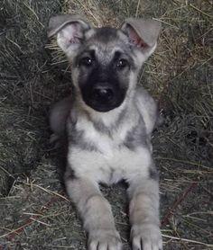 prairieacreskennel.com - German Shepherds (silver sable male)