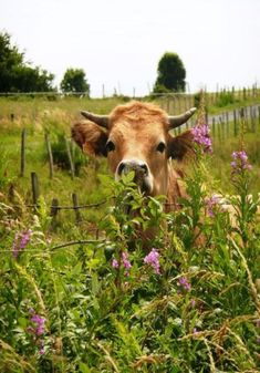 Still kind of annoyed that cows are prettier than me. I love how nosy Jersey's…