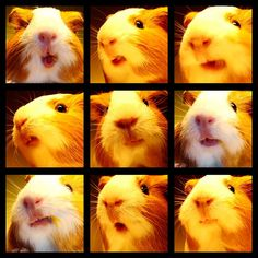 The Many Faces of Bucho the Guinea Pig