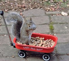Wobbles the squirrel waiting for a wagon ride. Photographer Nancy Rose