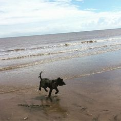 Beach day! #actionshot #cockerspaniel #bridlington