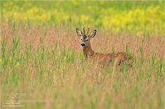 Roe deer / Capreolus capreolus
