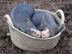 Snugglepot and Cuddlepie. Berkshire piglets sleep in their feed bucket.