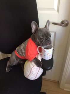 """I'm saving Daddy's coffee for him"", adorable Blue French Bulldog Puppy"