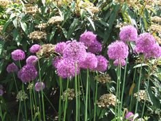 Pink Alliums bloom in May