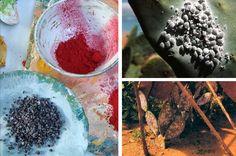 polvo de grana y grana cochinilla