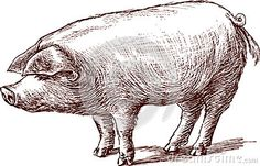 Pig Stock Photos, Images, & Pictures – (61,839 Images)