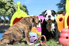 Oscar du sixième sens et olly du sixième sens ! Continental Bulldog, Dogs, Animals, Dog Breeds, Dog Baby, Animales, Animaux, Pet Dogs, Doggies