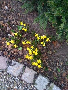 26 March 2013 : Tiny daffodils making an appearance in spite of recent snow.