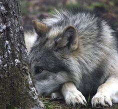 wolf pictures | ... Wolf Science Centers wird sogar angeboten, den Wölfen mal auf
