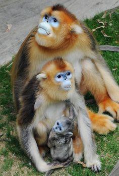 Golden Snub-Nosed Monkey Family - Papa, Mama & Tiny Baby
