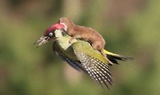 イタチが鳥に乗って空を飛んでいるだと?そんなおとぎ話の世界が本当にあった(イギリス) : カラパイア