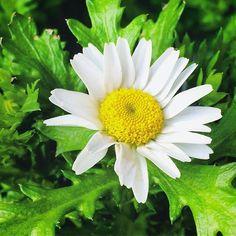 """【megurikurumono】さんのInstagramをピンしています。 《「日向ぼこ」ひなたぼこ Sun oneself = Hinata boko (The flower in this picture is a swamp chrysanthemum.) 日溜まりでじっとうごかず温まること☀️日向ぼこの""""ぼこ""""は、ほっこりから来ていると、言われています😊picは、ノースポールの花✨和名は、寒白菊と言いますが、季語になっていない花です😌 花言葉は、輪廻転生、です。東京は明日、雪か雨予報❄️どうぞ良い週末をお過ごしください🙏✨ #俳句 #haiku #花 #flower #blossom #bloom #自然 #nature #景色 #view #landscape #植物 #plants #botanical #樹木 #trees #forest #森林 #日本 #japan #japanese_culture #flowerlovers #naturelovers #季語 #seasons_words #splendid #winter #冬 #庭…"""