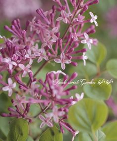 いい香り♪小さいお花の 『姫ライラック』 | 花苗 | | Junk sweet Garden tef*tef* ガーデニング雑貨・花苗