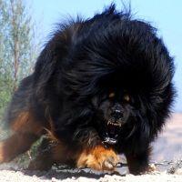 Most Expensive Dog Breeds In The World The Tibetan Mastiff also known as do khyi… Tibetan Mastiff Dog, Mastiff Dogs, Tibetan Dog, Animals And Pets, Funny Animals, Cute Animals, Giant Animals, Animals Photos, Tibetan Mountain Dog