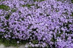 Phlox subulata - Moderate growing 6 in. tall, 3 ft. wide -Needs regular watering - weekly, or more often in extreme heat. Zone 3-8 Full Sun