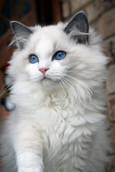Ohemgee nenya now living in thailand blue bi color ragdoll ohemgee cats cat fluffycat ragdolls ragdoll kittens blueragdoll bluebicolor blueeyes cats pets funnycats petsupplies kuurzhaar cane handsome cat Cute Cats And Kittens, Baby Cats, Kittens Cutest, Kittens Meowing, Black Kittens, Kittens Playing, Pretty Cats, Beautiful Cats, Pretty Kitty
