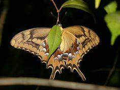 Schaus' Swallowtail  (Papilio aristodemus)