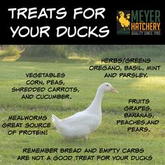 What's your favorite snack to feed your ducks? Hay can be the leading source of Pekin Duck, Muscovy Duck, Pet Ducks, Baby Ducks, Backyard Ducks, Chickens Backyard, Duck Diapers, Meyer Hatchery, Duck Coop