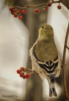Golden Finch Song By LeeAnn McLaneGoetz McLaneGoetzStudioLLC.com Macomb Orchard Trail Washington Michigan Good night song  The Finch is the state bird for New Jersey, Iowa, and Washington. #Finch,#bird,#birdwatching