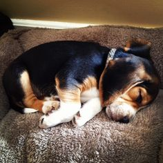 sleeping beagle pup