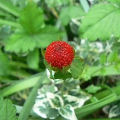 The wild strawberry / bright red fruit, a lovely sight / sadly, not too sweet.