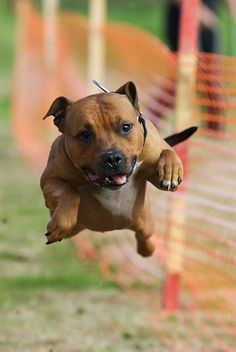 Staffie, by Steve Collins. My baby used to dive like this into the water