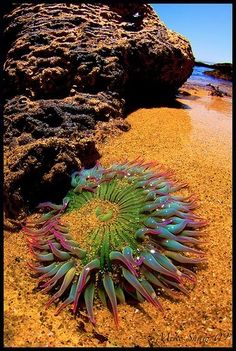 Anemone This gorgeously colored sea anemone shines during low tide at 'Hidden Beach' in Monterey California. (photo by: Mike Shaw)This gorgeously colored sea anemone shines during low tide at 'Hidden Beach' in Monterey California. (photo by: Mike Shaw) Underwater Creatures, Underwater Life, Ocean Creatures, Hidden Beach, Fauna Marina, Beautiful Sea Creatures, Sea Anemone, Anemone Flower, Cactus Flower