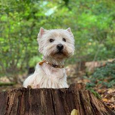Meinauf vier Pfoten#hundeliebegrenzenlos #nichtohnemeinenhund #lakritznase #herbstzeit #waldspaziergangmithund... Wild Creatures, West Highland White, White Terrier, Westies, Terriers, Board, Dogs, Pictures, Pet Dogs