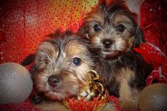 125 Best Yorkie Poos Images On Pinterest Cute Dogs Cute Puppies