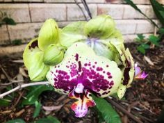 Gorgeous orchid in this beautiful Bali style garden at Karalee, Ipswich