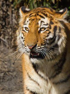 Tiger III di Bernhard Chodura