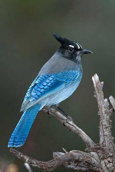 Beautiful #BlueJay! #Birds