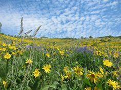 Crested Butte | Flower Field in July