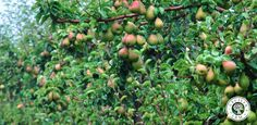 An image I liked on the Cecilia's Farm website Beautiful Fruits, Farm Life, Harvest, South Africa, Nature, Outdoor, Image, Outdoors, Naturaleza