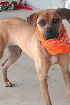ADOPTED>NAME: Mia  ANIMAL ID: 31979948  BREED: Boxer  SEX: female  EST. AGE: 2 yr  Est Weight: 37 lbs  Health: heartworm pos  Temperament: dog friendly, people friendly  ADDITIONAL INFO: RESCUE PULL FEE: $35  Intake date: 6/23  Available: Now