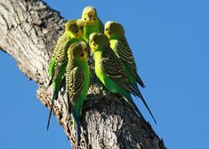 Wild group of budgerigars in Australia. The budgerigar, also known as common pet parakeet or shell parakeet and informally nicknamed the budgie, is a small, long-tailed, seed-eating parrot.