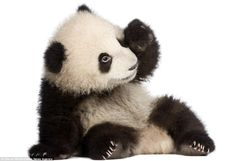 panda pictures | Los pandas bebés - Imagui