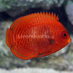 Golden Angelfish; centropyge aurantia; Diver's Den.  Yes, they are really this color.