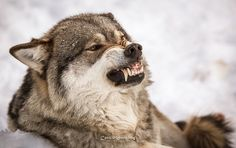 HD Wolf Wallpapers p × Wolf Wallpaper Wallpapers Wolf Headdress, Wolf Poses, Husky, Angry Wolf, Wolf Life, Wolf Wallpaper, Wallpaper Wallpapers, Photo To Art, Wolf Pictures