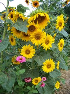 photo by FatFrogFarm on Garden Showcase Happy Flowers, Love Flowers, Sun Flowers, Nature Pictures, Cute Pictures, Sunflower Wallpaper, Big Garden, Black Eyed Susan, How Beautiful