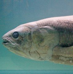 """After 400 Million Years, Coelacanth at Risk of Extinction - By John R. Platt - """"It may have hidden in the ocean for millions of years, but life today poses numerous challenges for the West Indian Ocean coelacanth (Latimeria chalumnae), the ..."""" Photo by Daniel Jolivet - Used under Creative Commons license"""